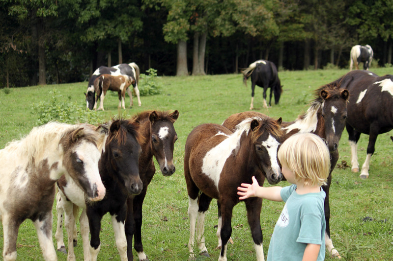 2012 AMHR/ASPC Foals