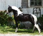 SMHC'S Lets Dance AMHR/ASPC Stallion