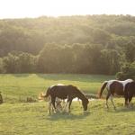 AMHR/ASPC Pony Mares