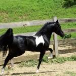 SMHC'S Ringmaster AMHR/ASPC Stallion